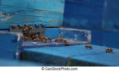 Bees, close up