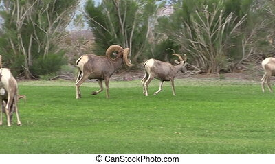 Desert Bighorns in Rut - a desert bighorn sheep ram and ewe...