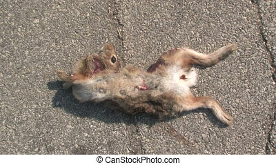 Dead Rabbit With Flies - A dead rabbit with a broken neck...