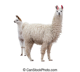 Female llama with baby - Two llamas on the side of white...