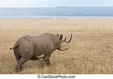 Southern White Rhino - Square-lipped Rhinoceros in Nakuru...