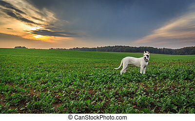 Dogo argentino on the field during sunset.