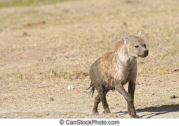 Spotted Hyena (crocuta crocuta) - Hyena covered iby mud run...