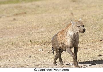 Spotted Hyena (crocuta crocuta) - Hyena covered iby mud run...