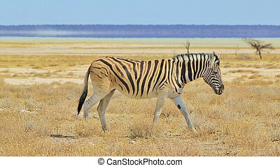 Zebra - Horizon of free Beauty - A Burchells Zebra wonders...