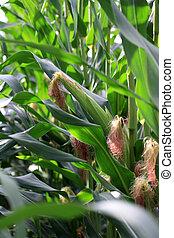 corncobs - a big corn field with several corncobs