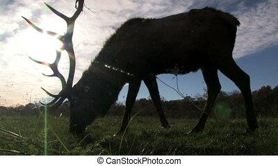 Elk Grazing in Front of Sun 1