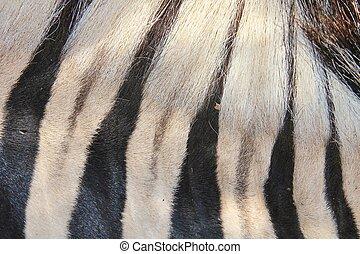 königreich, Farben,  -,  zebra, tier
