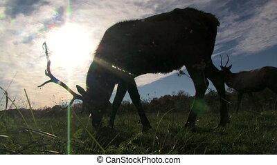 Elk Grazing in Front of Sun 2 - Silhouette of an elk grazing...