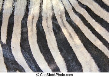 Zebra - Background beauty of black - A zebras skin in...