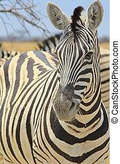 Zebra - Mare Innocence