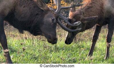 Elk, Males Battling - Two male elk lock antlers