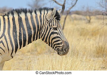 Zebra - Horizon of Stripes - A Burchells zebra stallion...