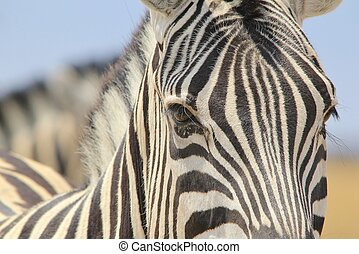 Zebra - Beautiful Nature of Stripes - A close-up of a...