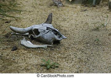 bull bovine skull - bull skull in deasert
