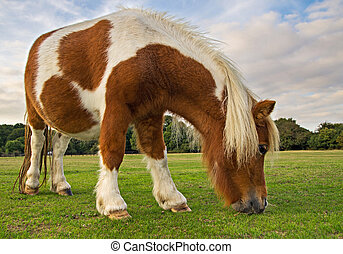 Brown and White Pony Grazing