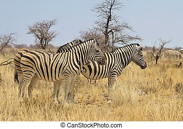Zebra - Perfect Harmony - Burchells zebra, as seen in the...