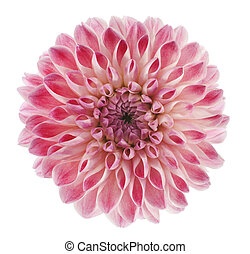 dahlia - Studio Shot of Pink Colored Dahlia Flower Isolated...