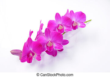 Orchid lilac Phalaenopsis on white background