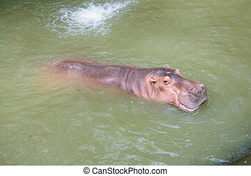 Hippopotamus in the zoo, thailand safari