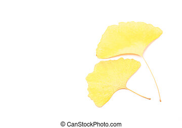 ginkgo leaves - This is a photograph of the ginkgo leaves