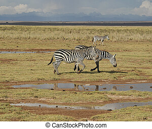 Two Plains zebras and calf - Grants Zebras and calf running...
