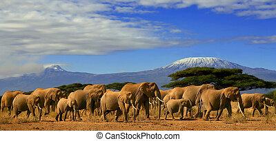 africano, elefante, manada