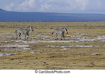 Pair of Grants zebra - Plains Zebra in savannah , Amboseli...