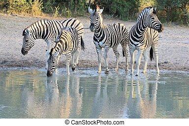 Zebra - Reflection of Beauty - Burchells zebra visit a...