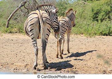 -,  zebra, tier, Babys