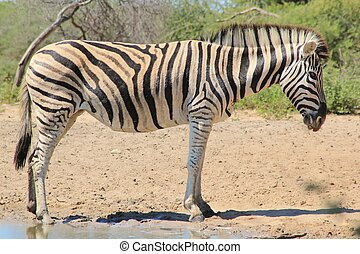 Zebra - Quiet Striped Time - A Burchell's zebra mare,...