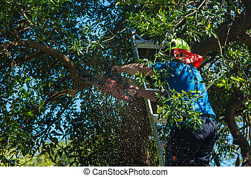 Tree Cutting - Man up a ladder trimming some branches of a...