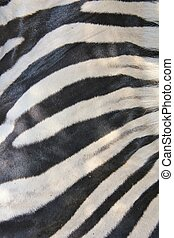 Zebra - Natural Art - A Burchells zebra skin close-up, as...