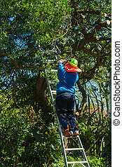 Tree Trimmer - Man up a ladder trimming some branches of a...