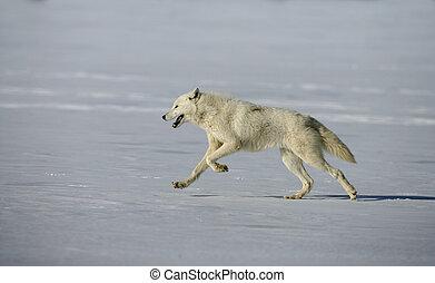 Arctic wolf, Canis lupus arctos