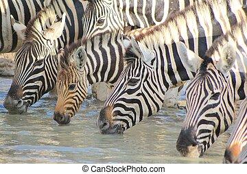 Zebra - Quenching thirst