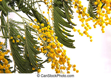 mimosa - branch of mimosa flower