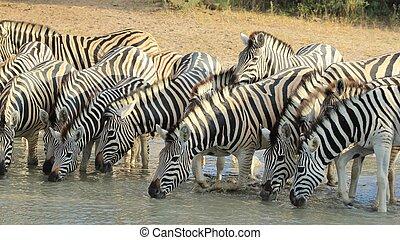 Zebra - Lined up Stripes - A herd of Burchells zebra drink...