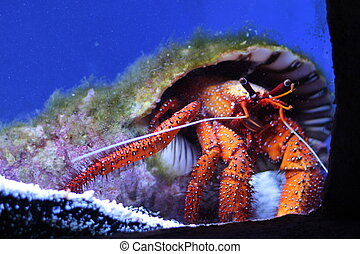 Large Hermit Crab - Colorful hermit crab with large shell...