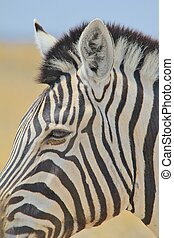 Zebra - Beautiful Strped Mare - A Burchells Zebra mare is...