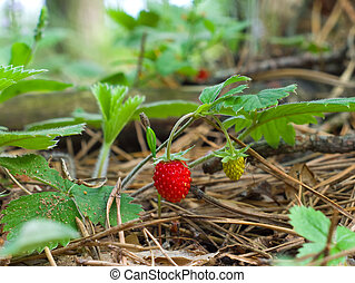 Ripe and unripe strawberry in the forest