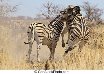 Zebra - Fight and Bite of Stripes - Two Burchells zebra...