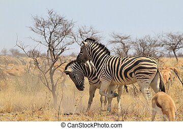 Zebra - Stallion Fight of Stripes - Two Burchells zebra...