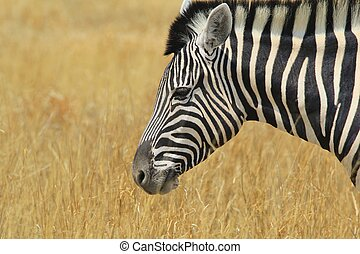 Zebra - Wildlife on Gold - A Burchells zebra poses for a...