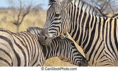 Zebra - Lines of Love - A Burchells zebra mare and foal bond...