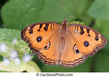 tropical nymphalidae butterfly - Junonia almana species on a...