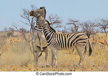 zebra,  -, streifen, herrschaft