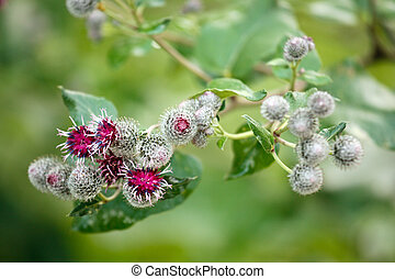 burdock flowers arctium minus - flowers of medicine plant...