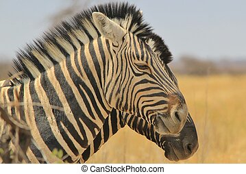 Zebra - Double vision of Duplicate - A pair of Burchells...