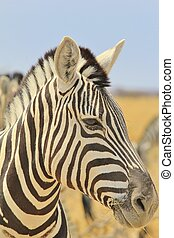 Zebra - Close-up Background Beauty - A close-up of a...